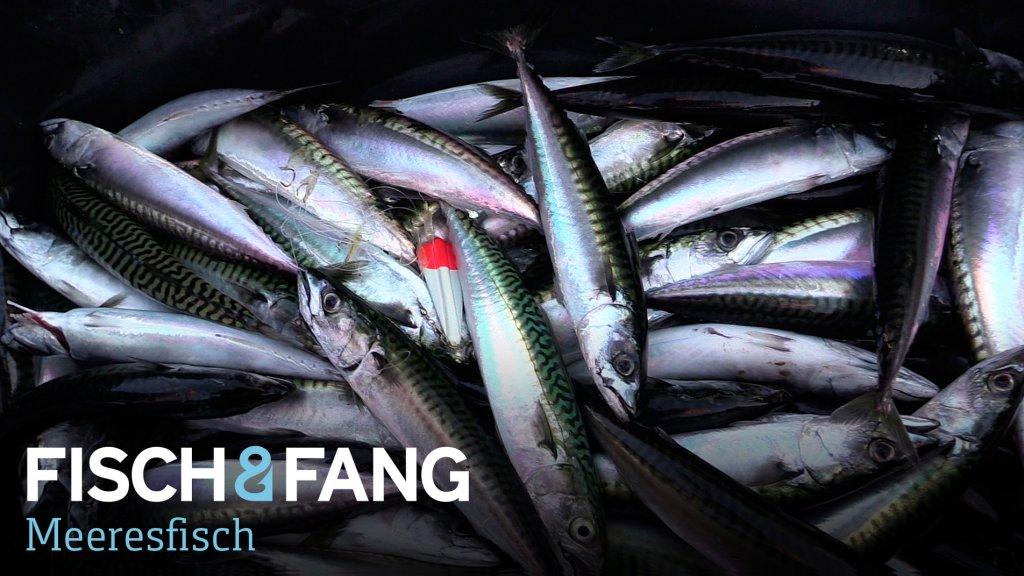 Makrelen auf der Ostsee