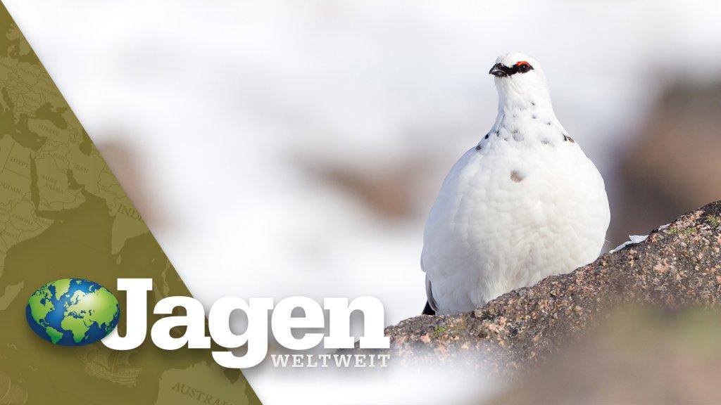 Leserreise: Auf Raufußhühner in Kiruna
